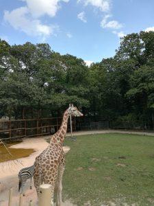 Giraf en zebra Ouwehands Dierenpark Rhenen, vakantietip mama Minke, mooie dieren