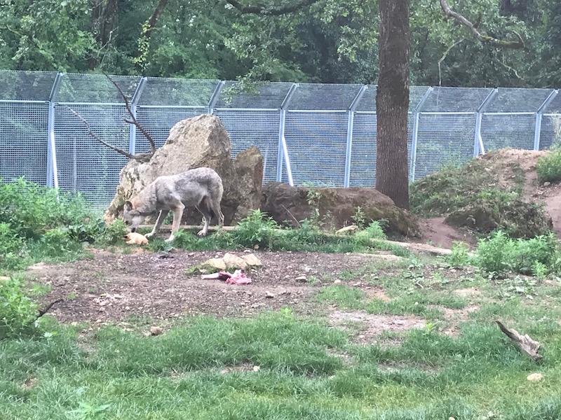 parc-du-thot-dordogne-loups