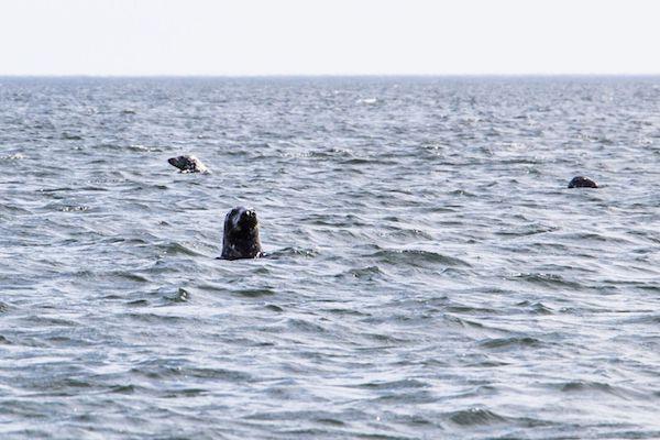 voir les phoques au canada
