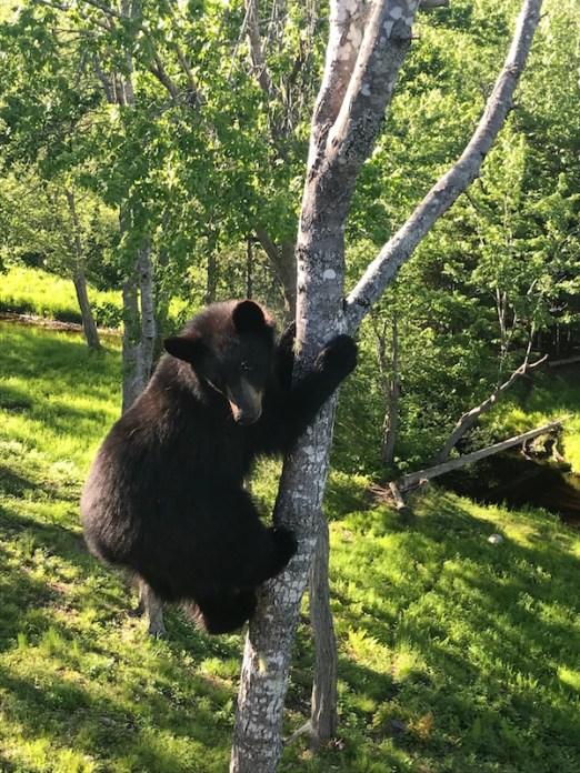 ours little big bear safari