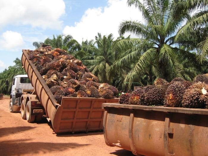 plantacion_palma