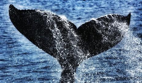 avistamiento ballenas okinawa
