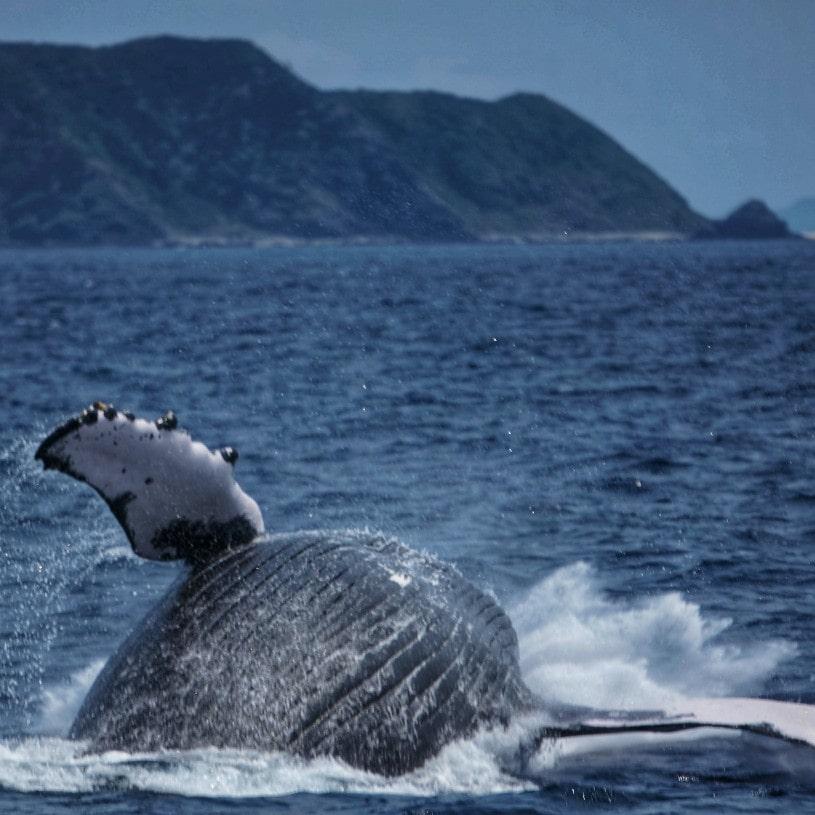 ballena jorobada zamami okinawa japon
