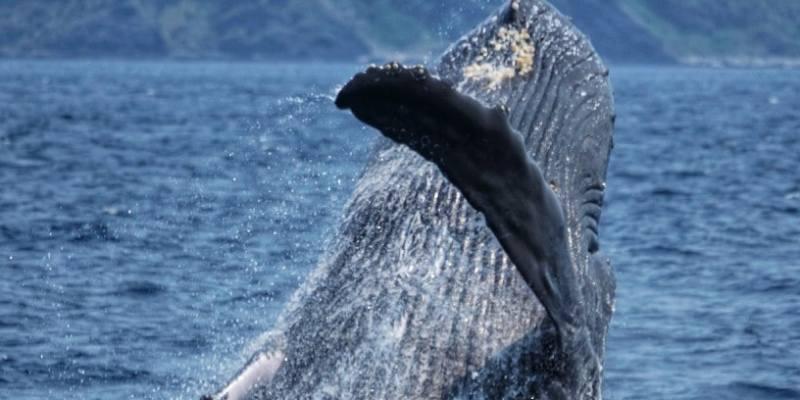 Ballenas en libertad Zamami Japón