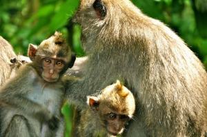 Macacos de Bali