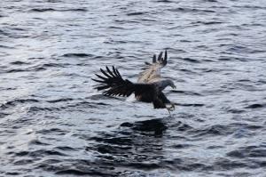 Sea eagle Noruega