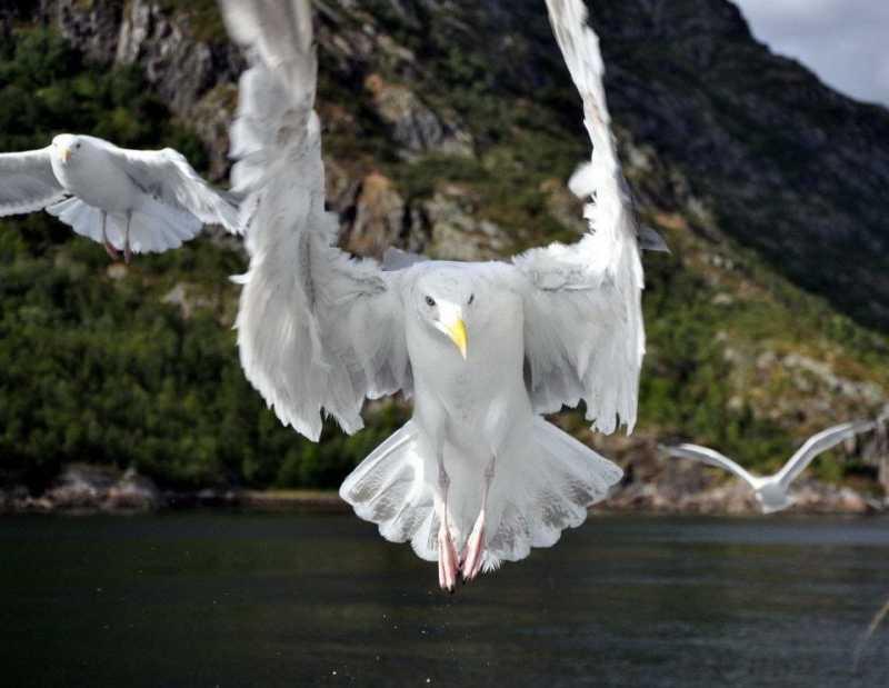 Gaviotas Fiordos noruegos