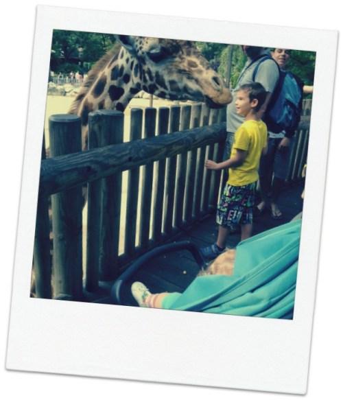 zoo la palmyre girafe