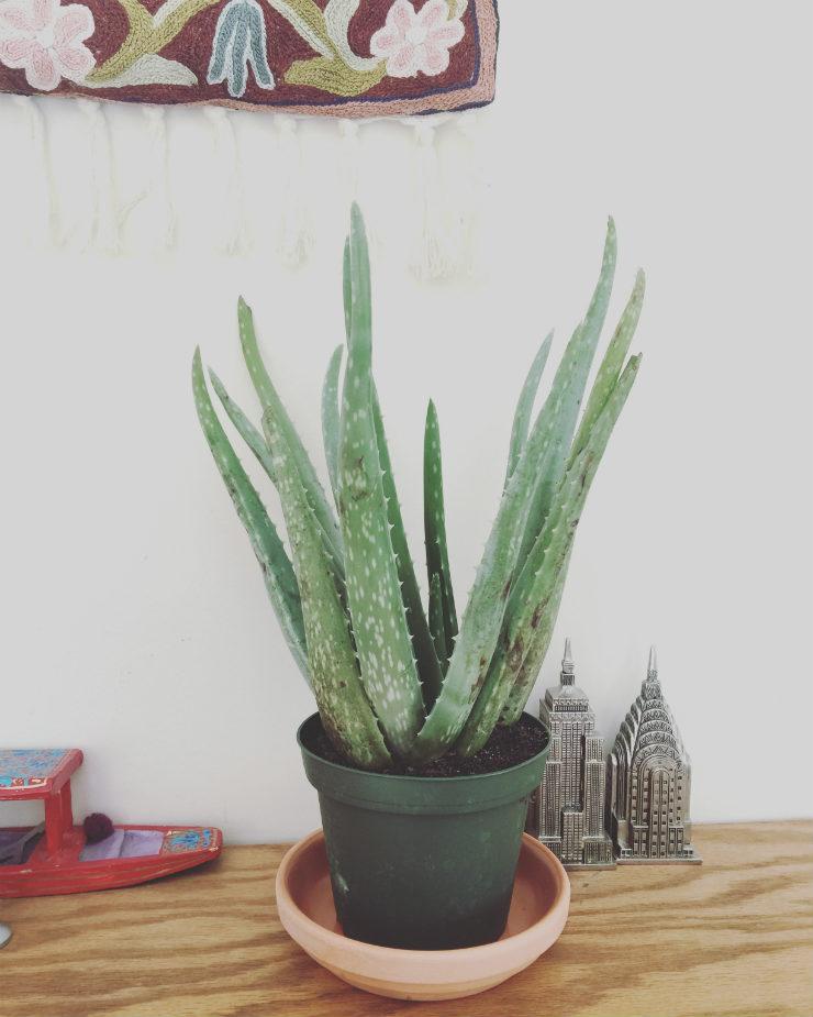 aloe-vera-house-plant-via-mamanushka-blog