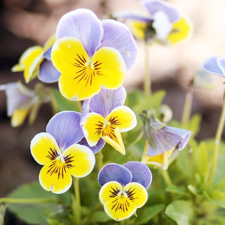 MAMANUSHKA.com || From Plant Killer to Glorious Garden Addict || Easy Plants For Beginners || Urban Garden || Pansies