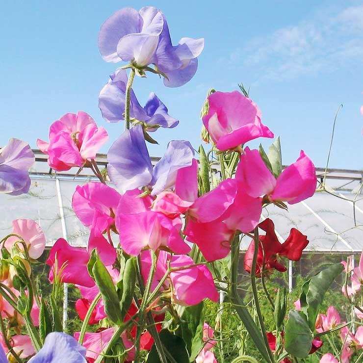 MAMANUSHKA.com    From Plant Killer to Glorious Garden Addict    Easy Plants For Beginners    Urban Garden    Sweetpeas
