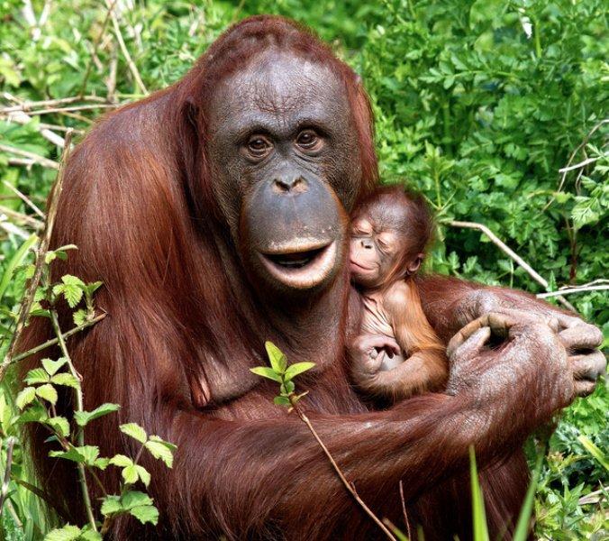 mama majmun