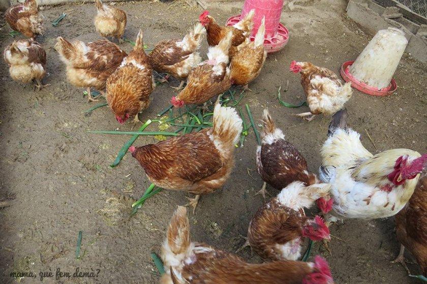 Gallinas comiendo en la Granja de Cal Rei