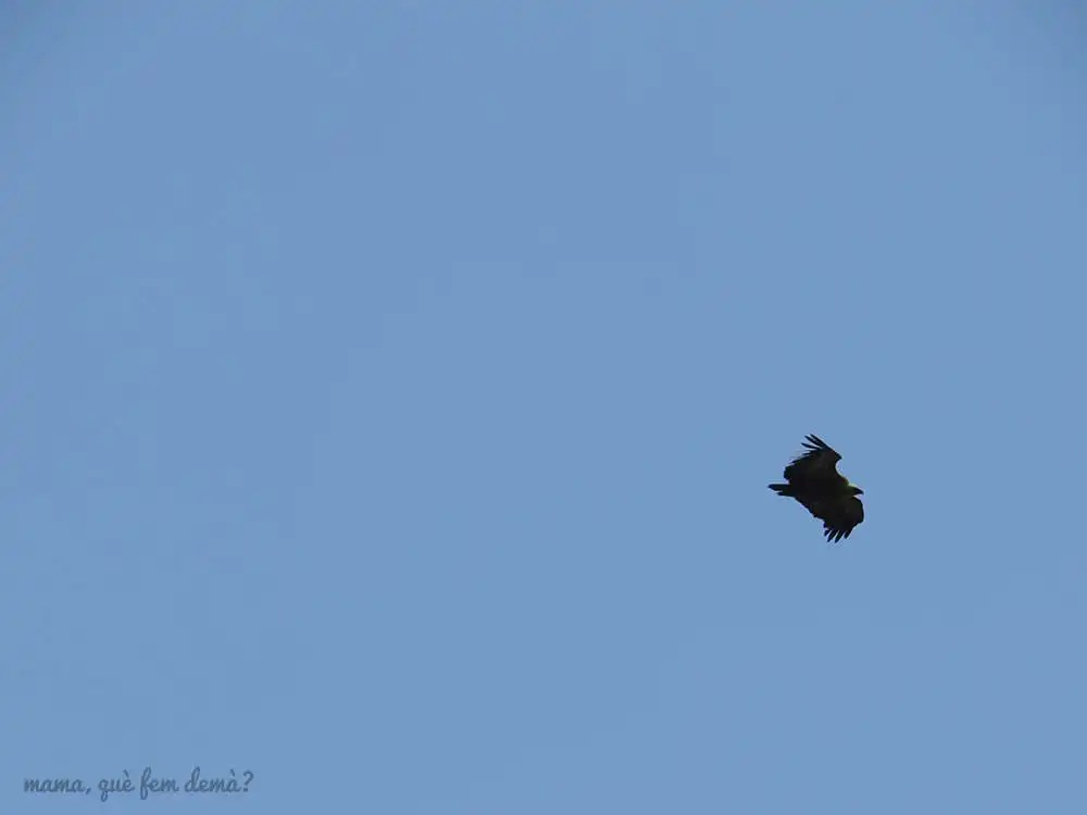 Águila volando en el Santuari de Queralt