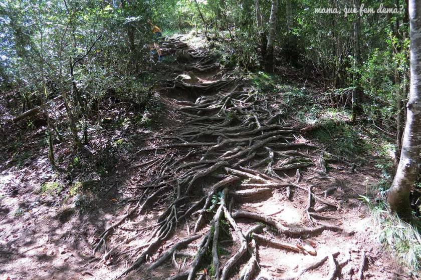 Camino de subida repleto de raíces en Vidrà