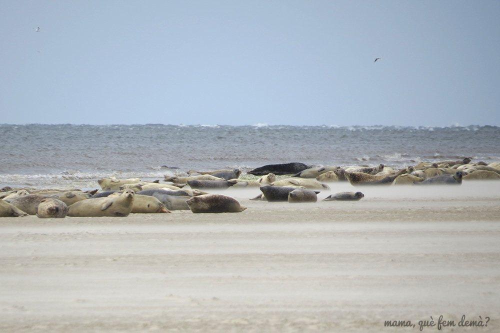 Focas estiradas en la arena en el Mar de Wadden de Mando