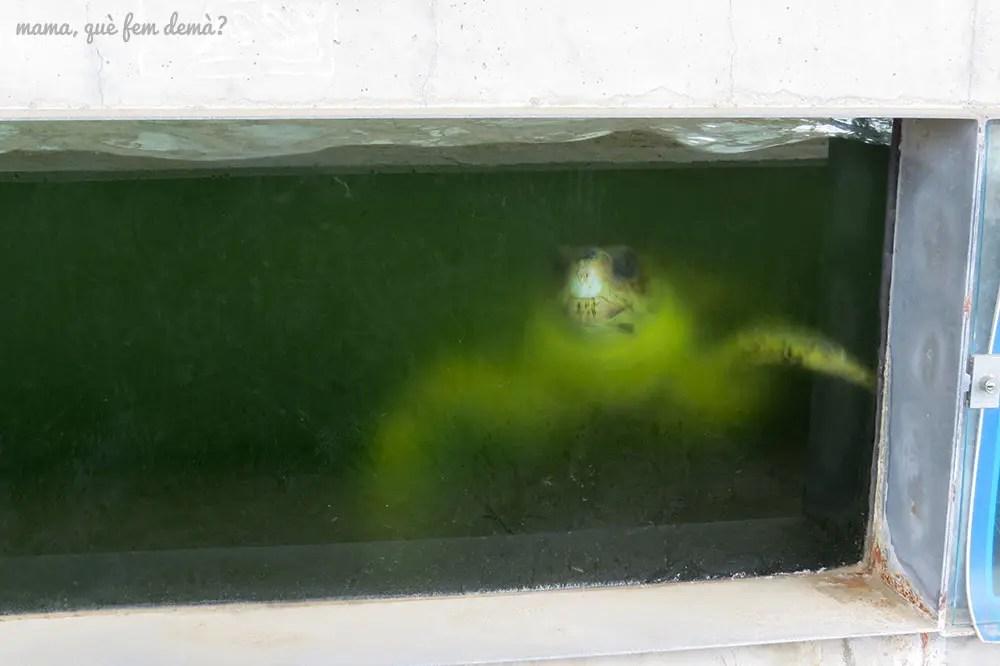 tortuga nadando en su tanque en el cram