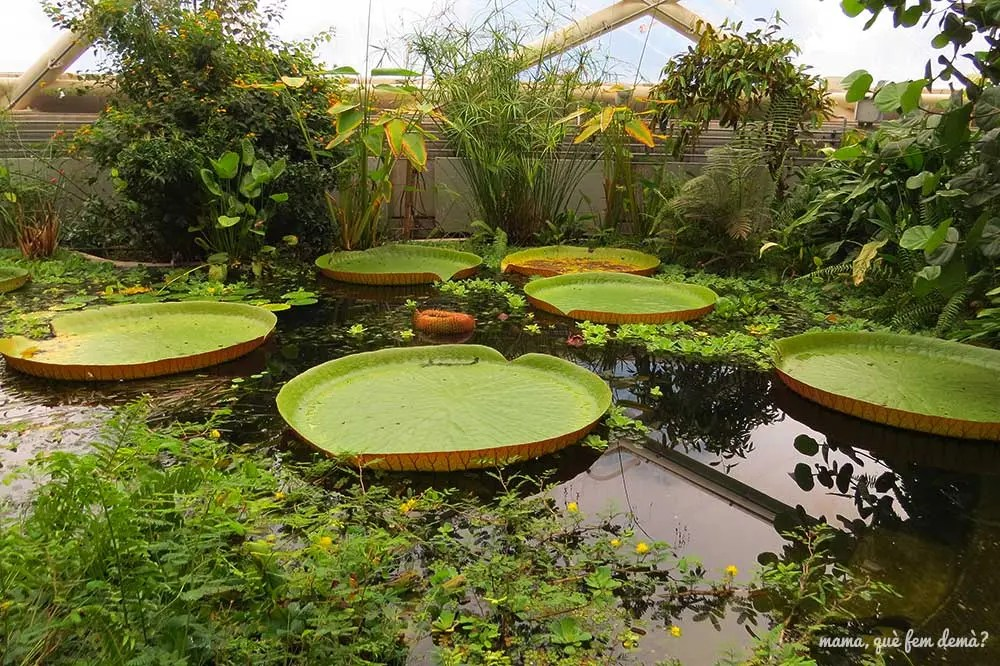 nenúfares gigantes del jardín botánico de Aarhus