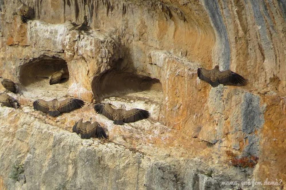 Aguilas en una pared del cañón del río Vero en la  Sierra de Guara de Huesca