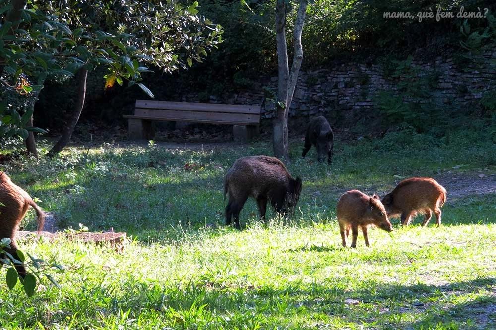 Jabalis comiendo delante del Centre d'Informació del Parc Natural de la Serra de Collserola