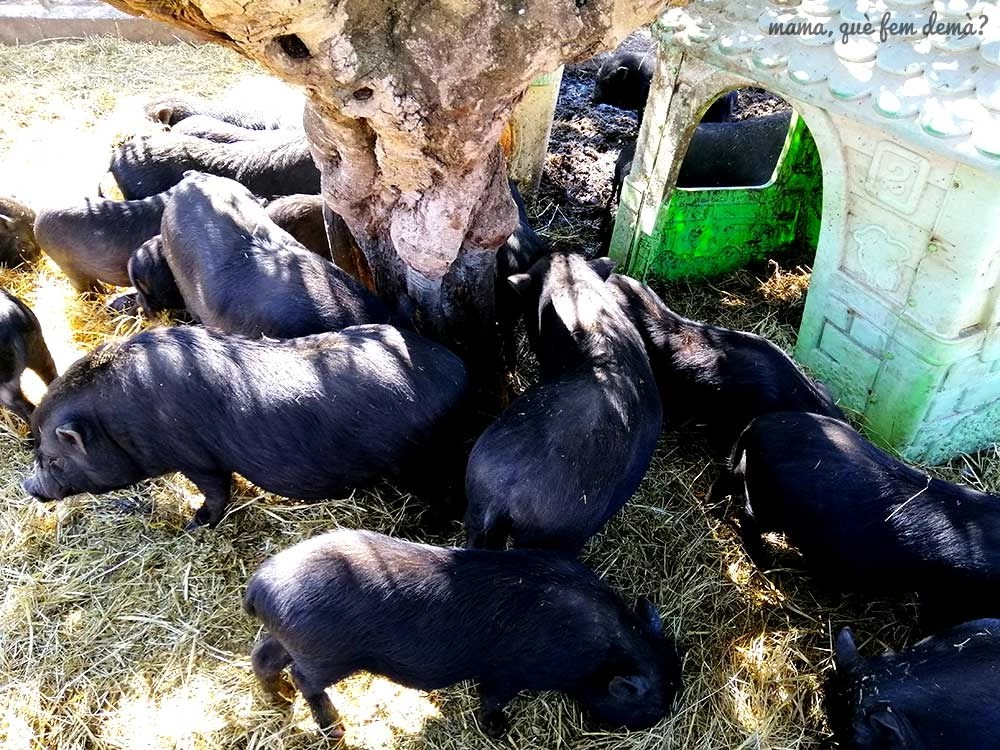 Cerdos vietnamitas en Món La Bassa