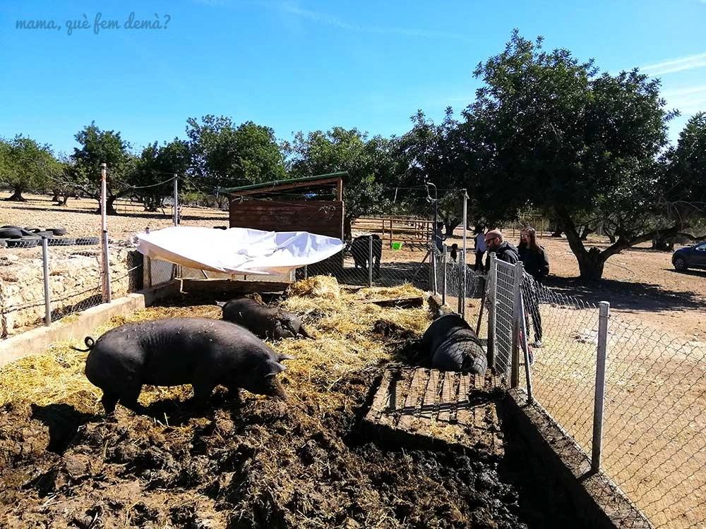 Cerdos en Món La Bassa