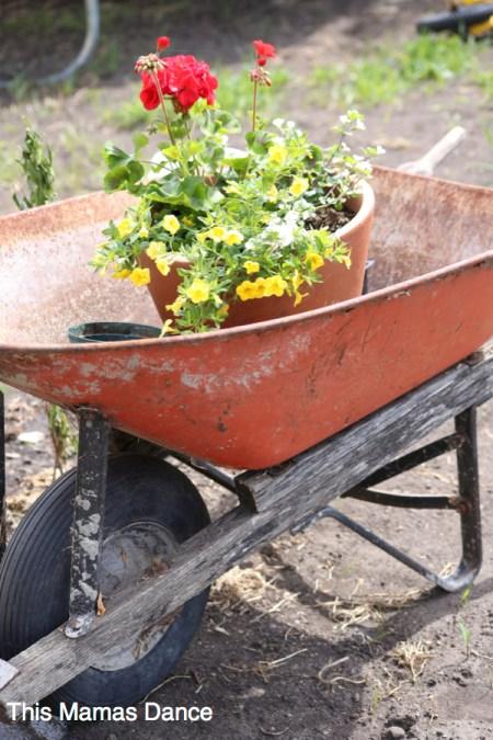 planting in the wheel barrow
