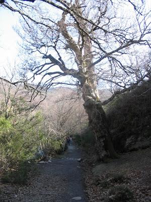 hayas árboles naturaleza paseo otoño