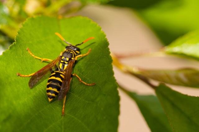 Doeltreffende bestrijding van wespen