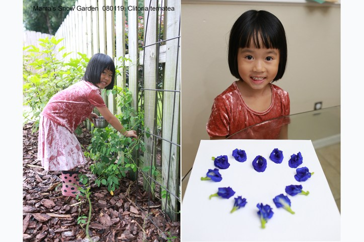 080119 Butterfly Pea Flowers (4)