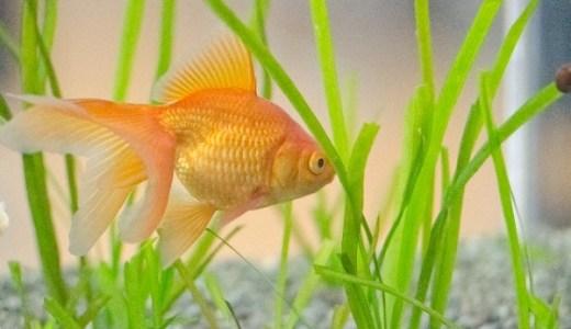 金魚が逆さまに泳ぐのは何故?ひっくり返るのは病気が原因!