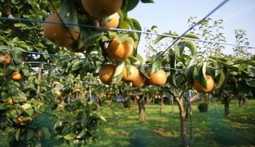 梨の品種一覧!大きい種類は愛宕、甘いのは秋栄