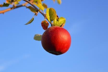 あなたは柔らかいりんごと固いりんご、どっちがお好みですか?
