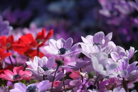 アネモネと似た花、ラナンキュラスとの見分け方とは?
