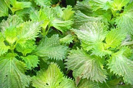 大葉には残留農薬がいっぱいって本当?食べないほうが良いの?
