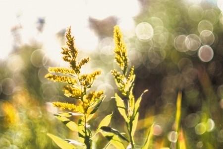 よもぎとブタクサの見分け方は?似ている植物はこう見抜け!