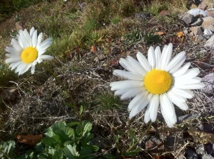 doua flori