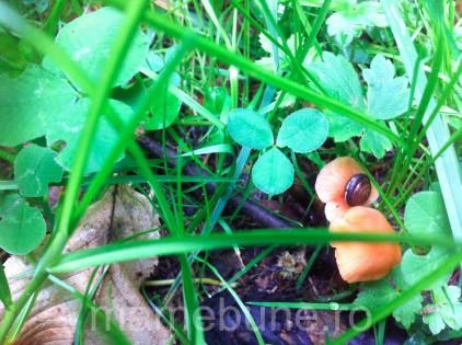 melc-ciupercă