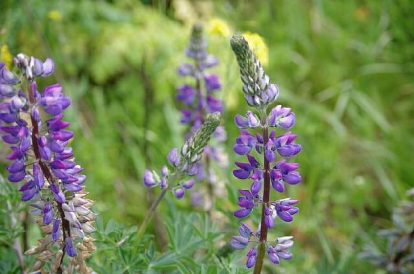 plante-lupin