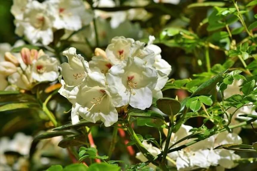 plante-rhododendron