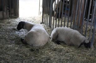 Los borregos descansan en uno de los corrales de la granja.