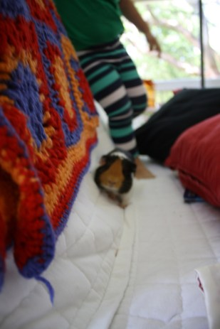 Juanita, nuestro Guinea Pig o conejillo de Indias, llegó aproximadamente hace 2 meses a la casa.