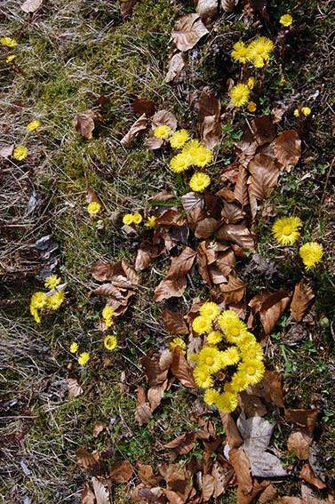Heilpflanzen im Frühling: Huflattich, Giersch und bald schon der Gundermann