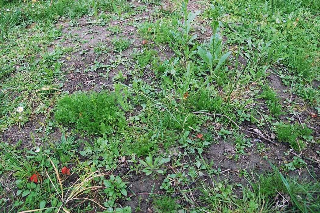 Hier haben wir den Rasen aufggraben und Wildblumen angesät!