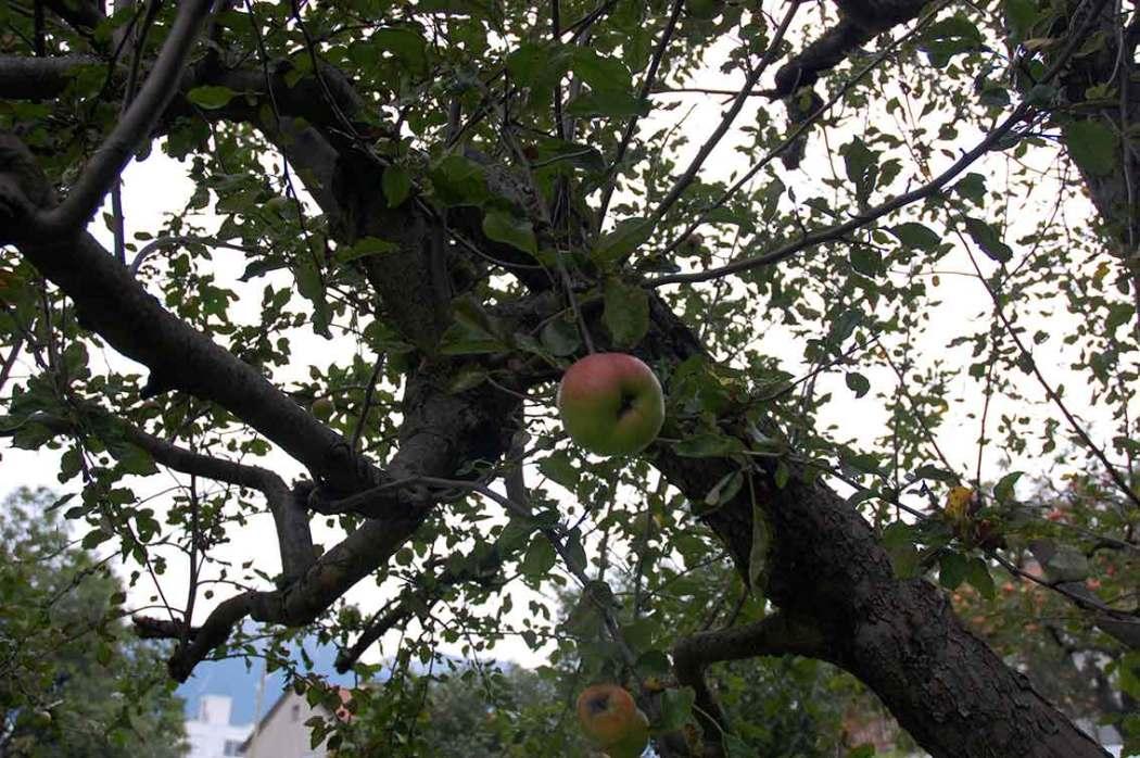 Zwetschgen und Äpfel einmachen