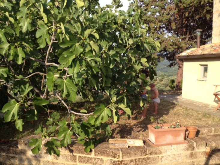 collecting figs 1