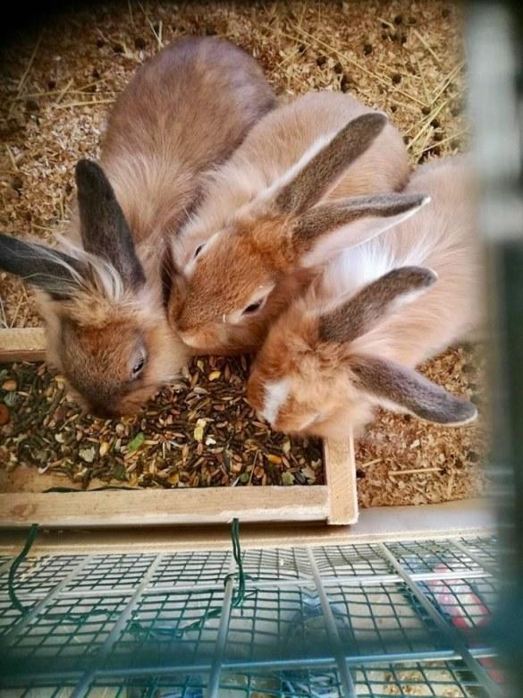 Conigli presso L'Arcobaleno Asd Pianella a Pianella di Pescara