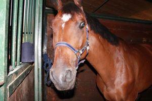 cavallo marrone maneggio new lord mario a francavilla al mare di chieti