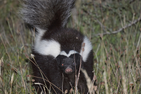 humboldt hog-nosed skunk