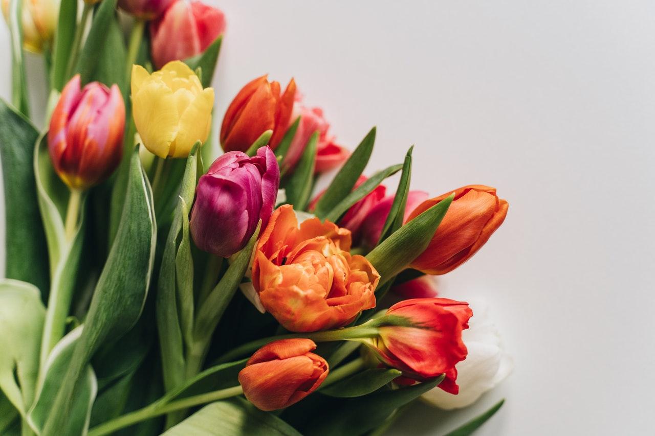 piantare tulipano